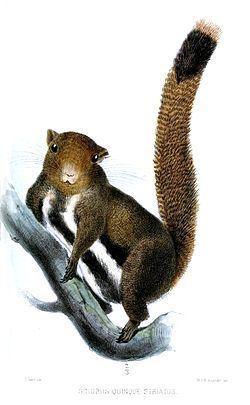 Anderson's squirrel httpsuploadwikimediaorgwikipediacommonsthu