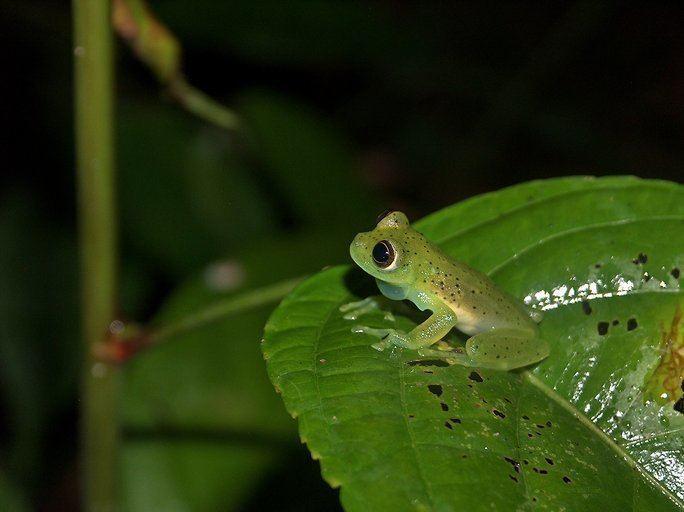 Andes giant glass frog calphotosberkeleyeduimgs512x768000000001210