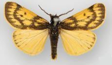 Andesobia boliviana