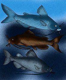 Andinichthyidae httpsuploadwikimediaorgwikipediacommonsthu