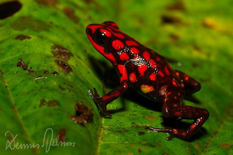 Andinobates Andinobates dorisswansonae Former Ranitomeya dorisswanson Flickr