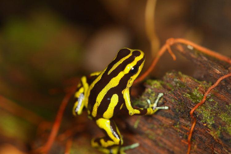 Andinobates Andinobates fulguritus near Nuqui Colombia prev quotRa Flickr