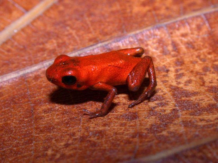 Andinobates Andinobates geminisae New Species of Poison Dart Frog Discovered in