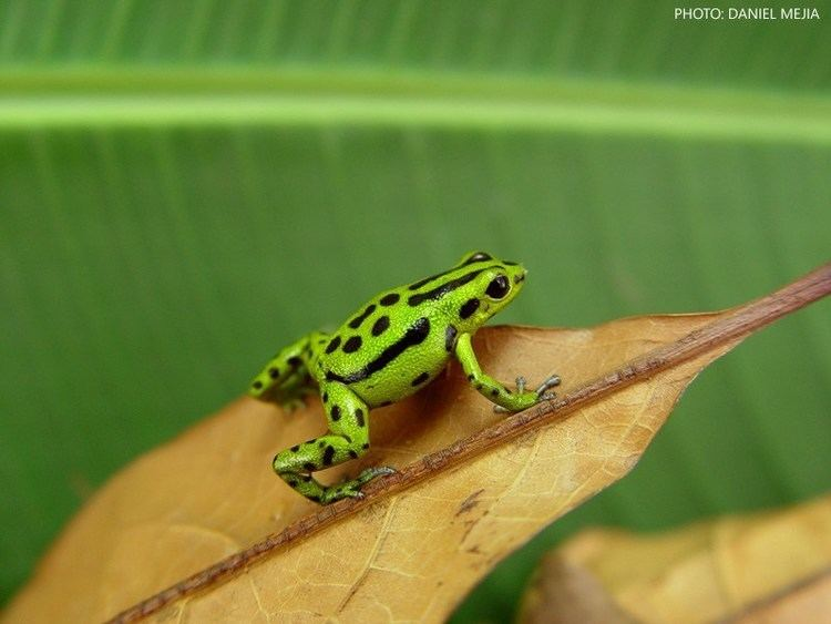 Andinobates Andinobates fulguritus Poison Dart Frogs Dendrobatesorg