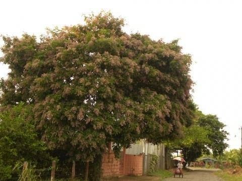 Andira inermis Andira inermis Useful Tropical Plants