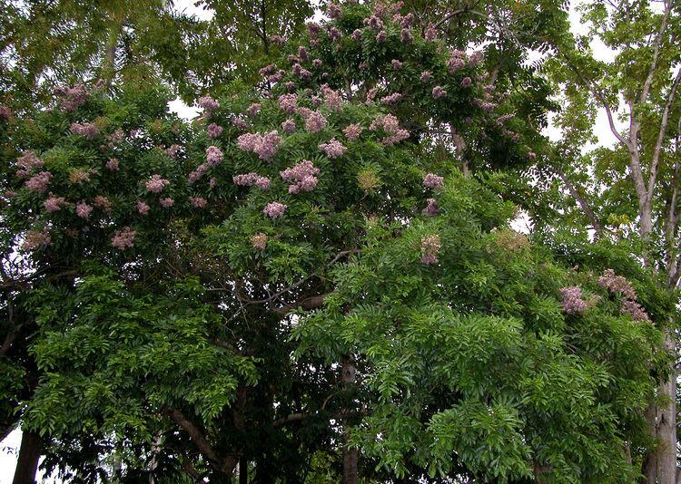 Andira inermis Smithsonian Tropical Research InstituteAndira inermis inermis
