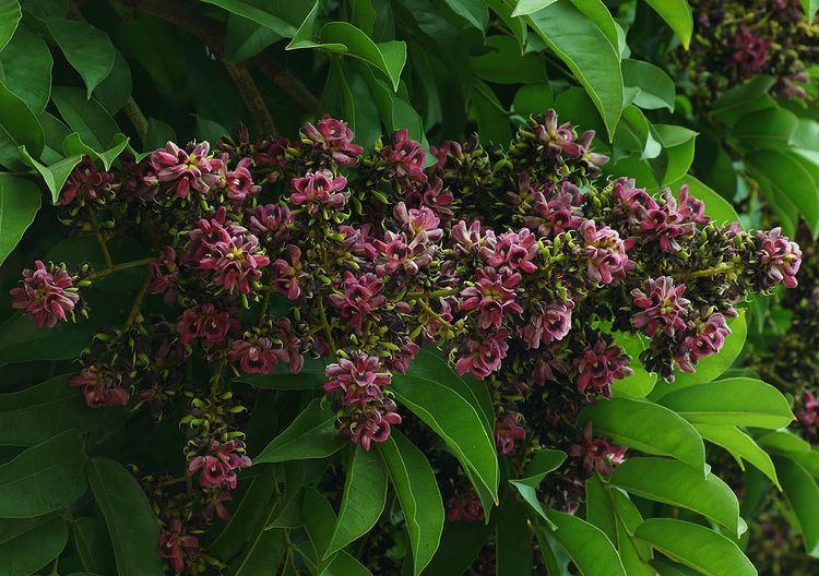 Andira inermis Photos of Colombia Flowers Andira inermis