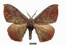 Andraca bipunctata httpsuploadwikimediaorgwikipediacommonsthu