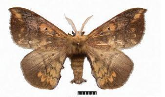 Andraca flavamaculata