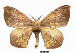 Andraca gongshanensis