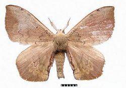 Andraca olivacea httpsuploadwikimediaorgwikipediacommonsthu