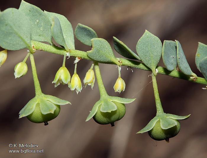 Andrachne wwwbgfloranetfamilieseuphorbiaceaeandrachnea