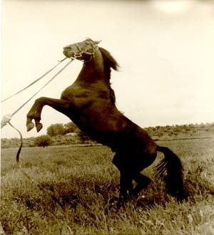 Andravida horse Andravida Horse