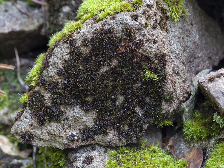 Andreaea CalPhotos Andreaea heinemannii Granite Moss