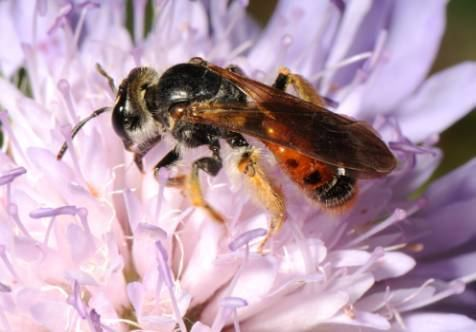 Andrena hattorfiana David Element39s Wildlife Web Page Hymenoptera 3 Mining Bees