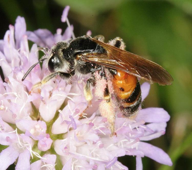Andrena hattorfiana Andrena hattorfiana Fabricius 1775 BWARS