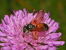 Andrena hattorfiana Andrena hattorfiana Wikipedia