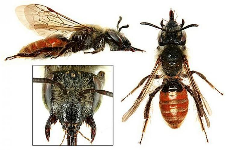 Andrena marginata wwwbwarscomsiteswwwbwarscomfilesstyleslar