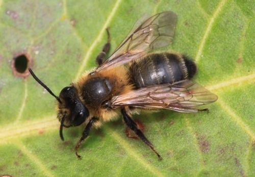 Andrenidae Andrenidae Mining bees NatureSpot