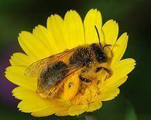 Andrenidae Andrenidae Wikipedia