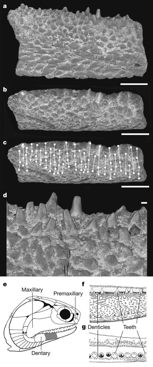 Andreolepis Figure 1 Jaws and teeth of the earliest bony fishes Nature