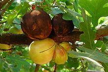 Andricus quercuscalifornicus httpsuploadwikimediaorgwikipediacommonsthu