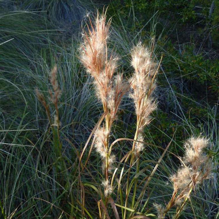 Andropogon glomeratus Andropogon glomeratus bushy bluestem Go Botany