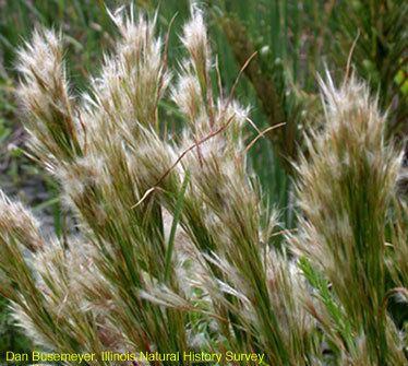Andropogon glomeratus Illinois Natural History Survey Andropogon glomeratus Bushy Bluestem