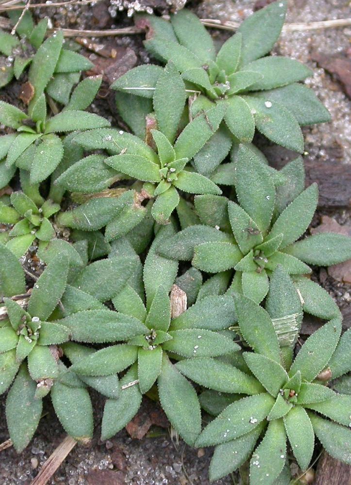 Androsace occidentalis Androsace occidentalis western androsace Go Botany