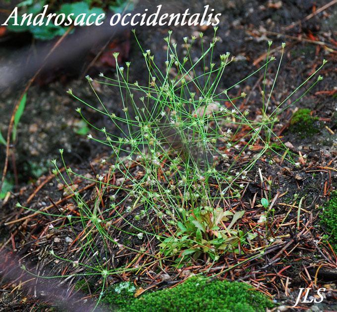 Androsace occidentalis Androsace occidentalis Rock Jasmine