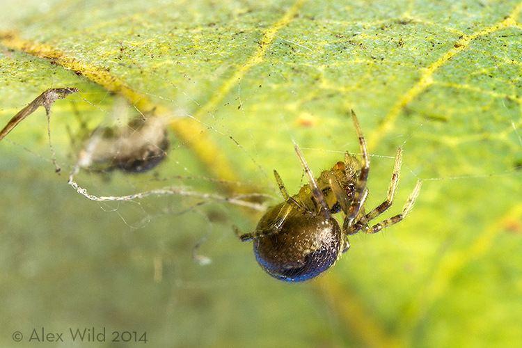 Anelosimus studiosus A Social Spider In North America