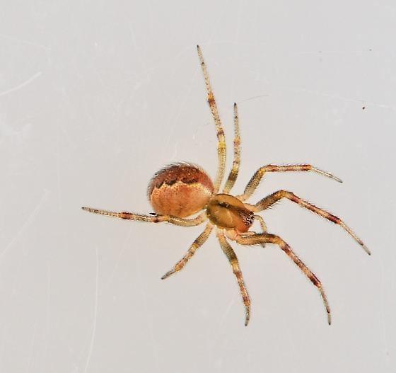 Anelosimus studiosus spider Anelosimus studiosus BugGuideNet