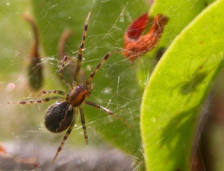 Anelosimus studiosus Social Spider Anelosimus studiosus Hentz 1850