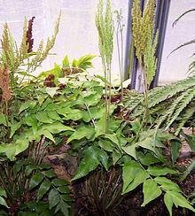 Anemia (plant) httpsuploadwikimediaorgwikipediacommonsthu