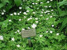Anemone baicalensis httpsuploadwikimediaorgwikipediacommonsthu