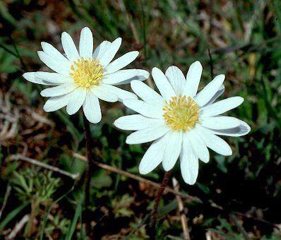 Anemone caroliniana Anemone caroliniana Carolina Anemone