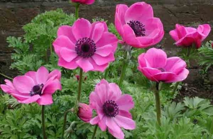 Anemone coronaria Anemone Coronaria Spring Flowering Bulbs Products Rose Cottage
