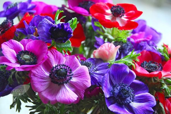 Anemone coronaria Buy anemone bulbs Anemone coronaria 39De Caen Group Mixed39 Delivery