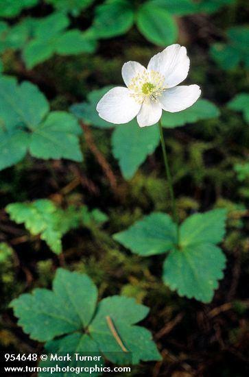 Anemone deltoidea httpswwwpnwflowerscomimagesplants954648jpg