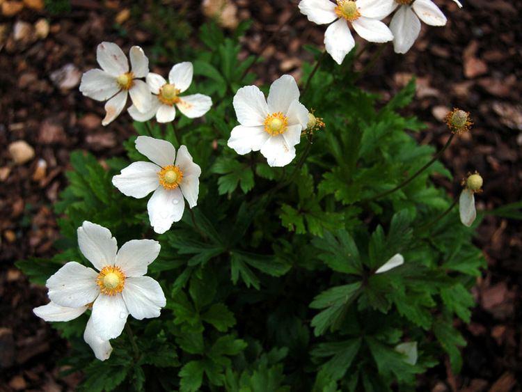Anemone sylvestris Anemone sylvestris