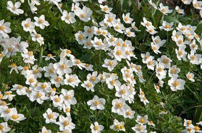 Anemone sylvestris Anemone sylvestris snowdrop anemonyRHS Gardening