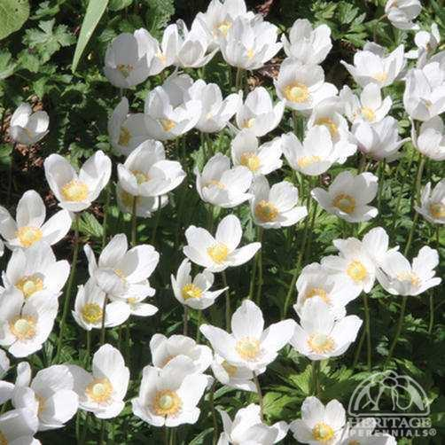 Anemone sylvestris Plant Profile for Anemone sylvestris Snowdrop Anemone Perennial
