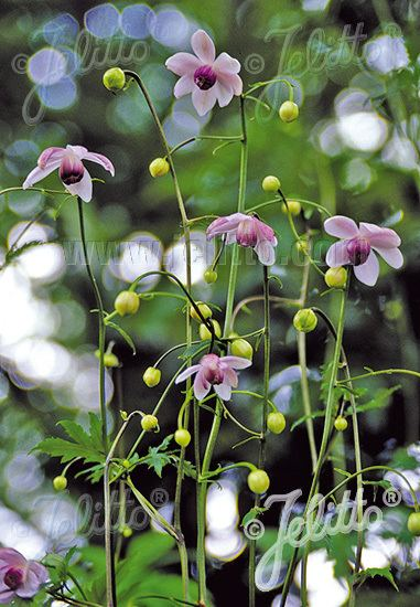 Anemonopsis Jelitto Perennial Seed ANEMONOPSIS macrophylla Portions