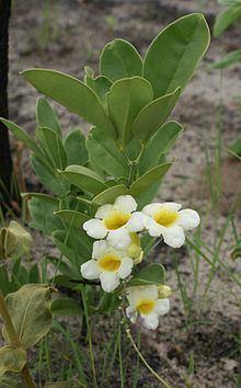 Anemopaegma glaucum httpsuploadwikimediaorgwikipediacommonsthu