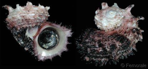 Angaria (gastropod) Angaria delphinus delphinus