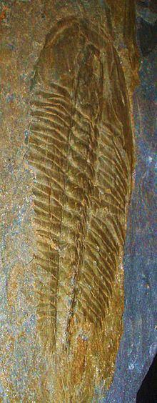 Angelina (trilobite) httpsuploadwikimediaorgwikipediacommonsthu