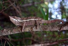 Angel's chameleon httpsuploadwikimediaorgwikipediacommonsthu