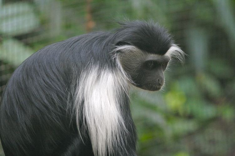 Angola colobus FileAngola Colobusjpg Wikimedia Commons