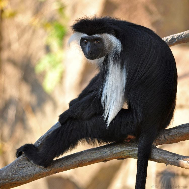 Angola colobus Angolan Colobus 0715 by robbobert on DeviantArt