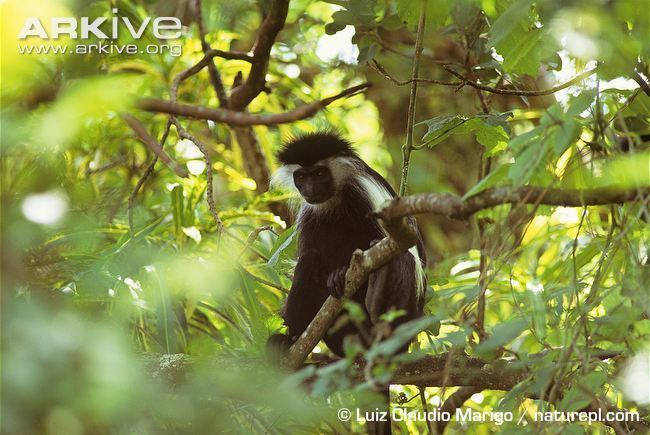 Angola colobus Angola colobus videos photos and facts Colobus angolensis ARKive